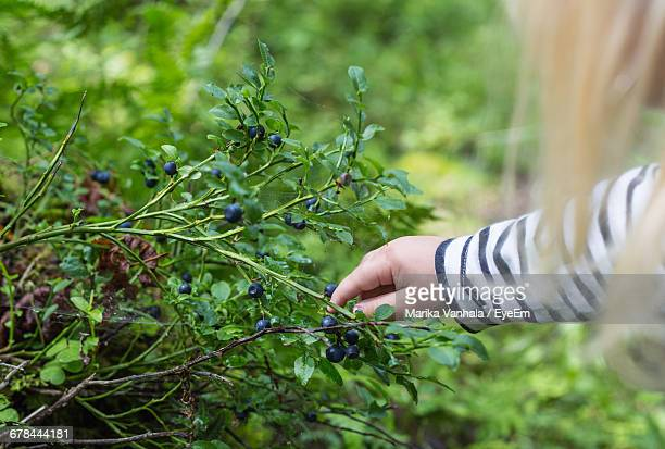 Cropped Image Of Girl Plucking Blueberries From Plant