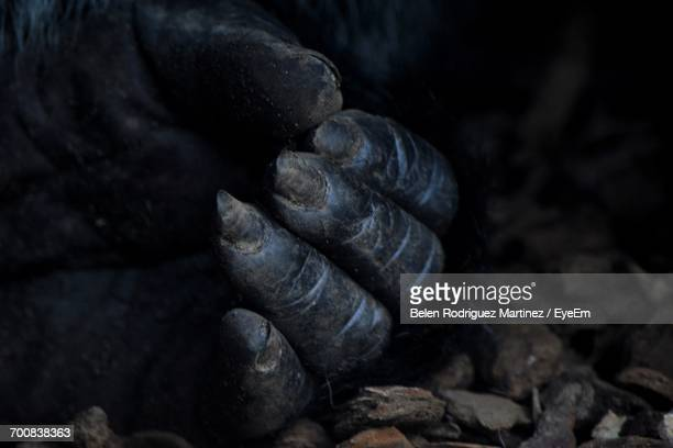 cropped image of gorilla hand on stones - gorilla hand stock photos and pictures