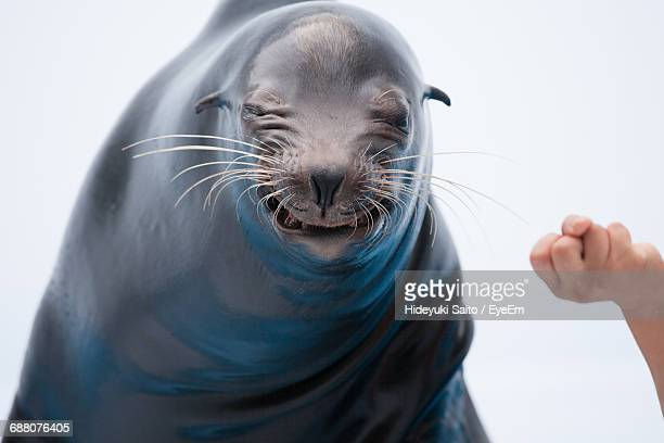 Cropped Image Of Hand By Sea Lion Against White Background