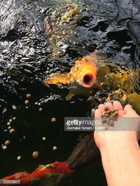 Cropped Image Of Hand Feeding Koi Carps In Pond