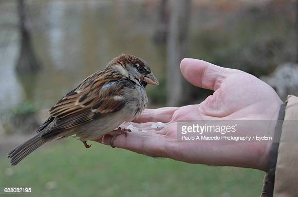 Cropped Image Of Hand Feeding Sparrow