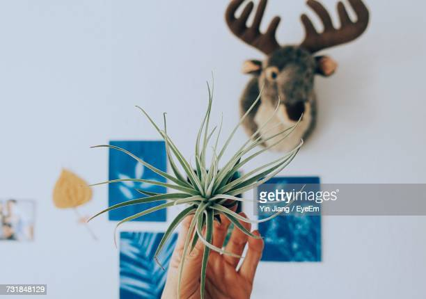 Cropped Image Of Hand Holding Air Plant Against Paintings And Hunting Trophy