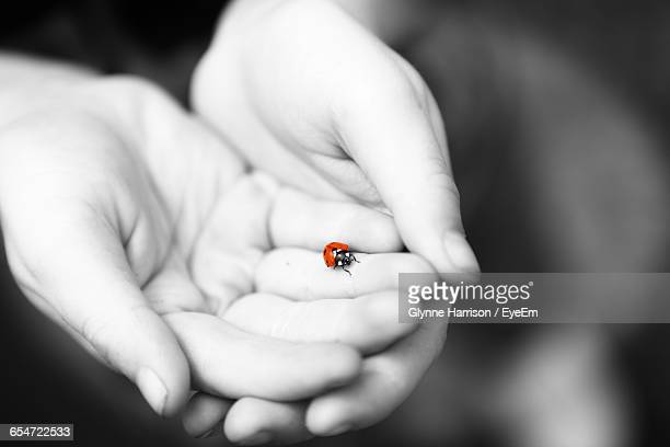 cropped image of hand holding ladybug - isolated color stock pictures, royalty-free photos & images