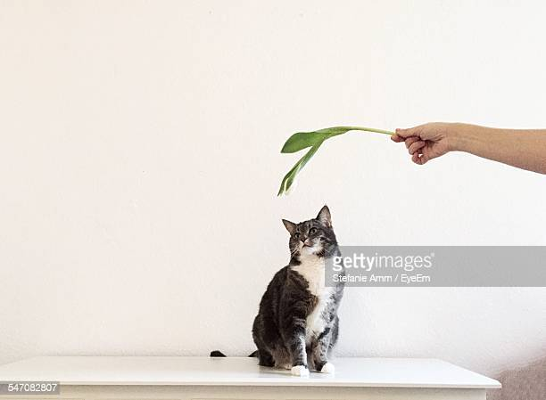 Cropped Image Of Hand Holding Leaf Over Cat On Table Against White Wall