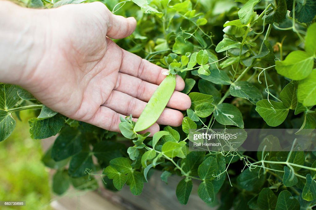 Cropped image of hand holding pea pod bean growing outdoors : Stock Photo