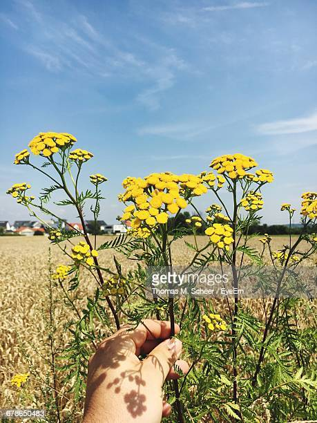 cropped image of hand holding tansy against sky - tansy stock pictures, royalty-free photos & images