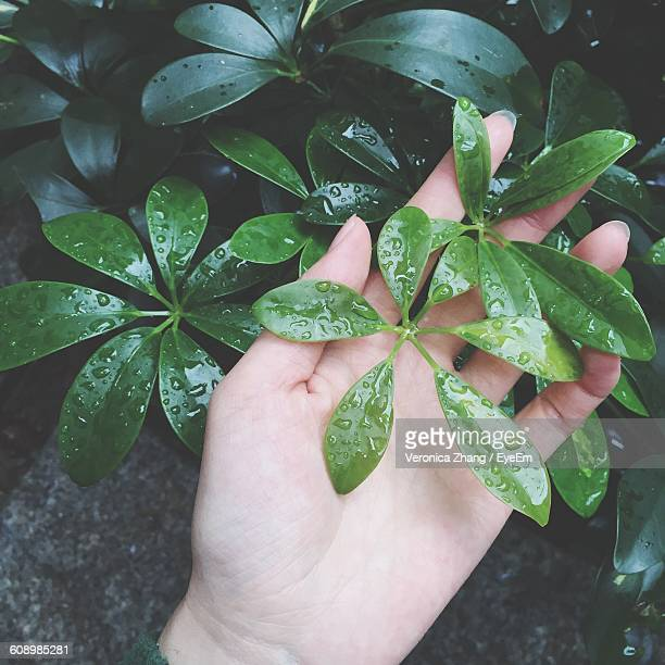 Cropped Image Of Hand Holding Wet Green Leaves