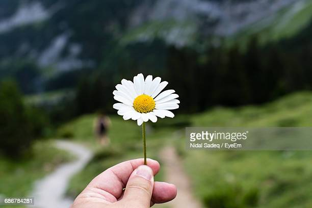 Cropped Image Of Hand Holding White Daisy