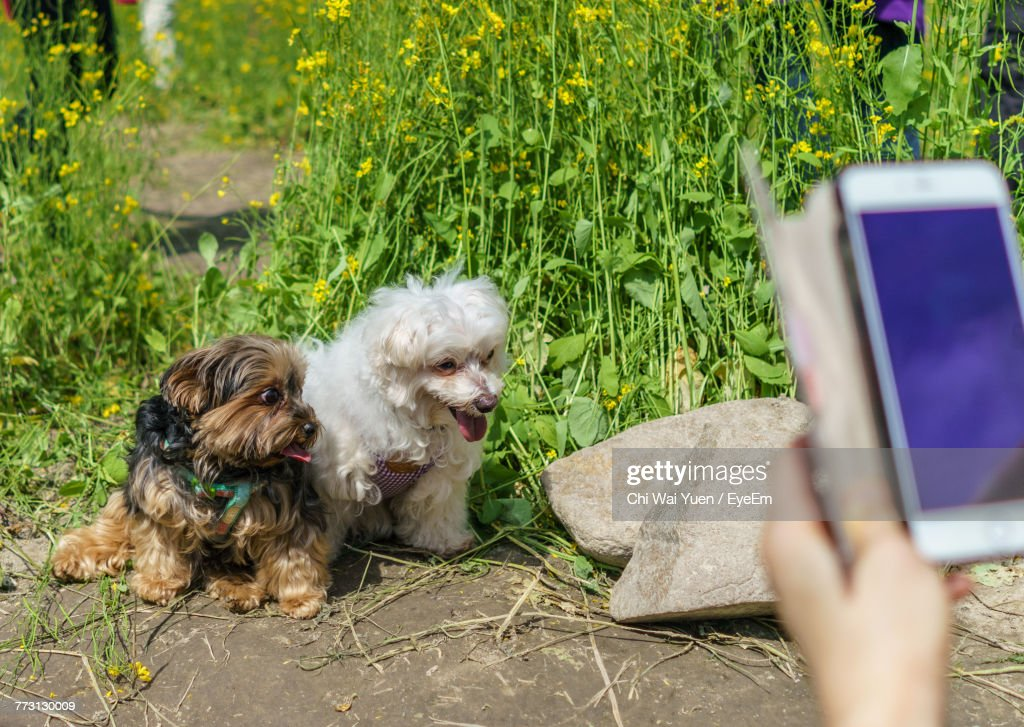 Cropped Image Of Hand Photographing Dogs Through Mobile Phone : Stock Photo
