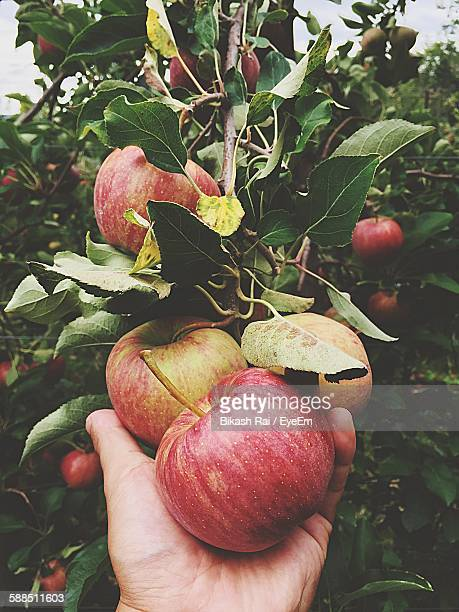 cropped image of hand picking apples from tree - picking stock pictures, royalty-free photos & images