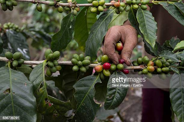 Cropped Image Of Hand Picking Coffee Cherries