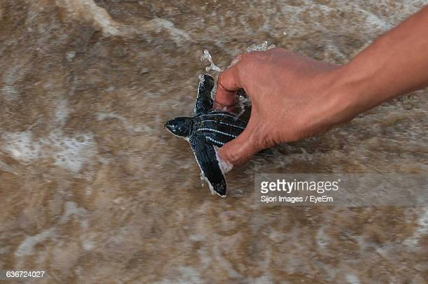 cropped image of hand releasing leatherback turtle in sea - releasing stock photos and pictures