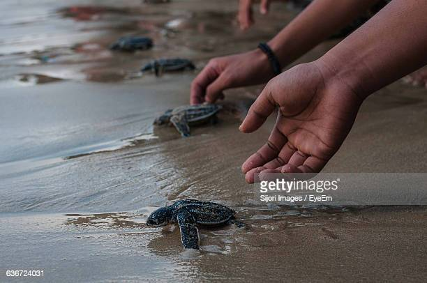 cropped image of hand releasing leatherback turtles at beach - releasing stock photos and pictures