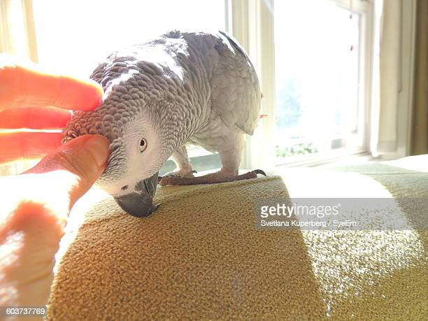 Cropped Image Of Hand Touching African Grey Parrot At Home