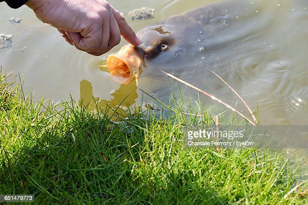 cropped image of hand touching koi carp in lake - carp stock photos and pictures