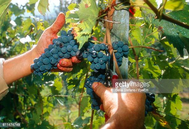 Cropped Image Of Hands Cutting Grapes With Pruning Shear
