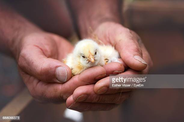 cropped image of hands holding baby chicken - baby chicken stock photos and pictures
