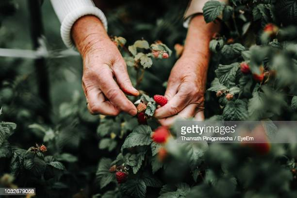 cropped image of hands picking raspberries - berry fruit stock pictures, royalty-free photos & images
