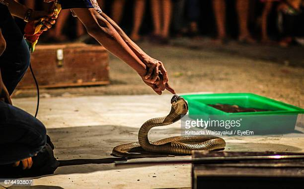 cropped image of hands touching cobra on street - king cobra stock photos and pictures
