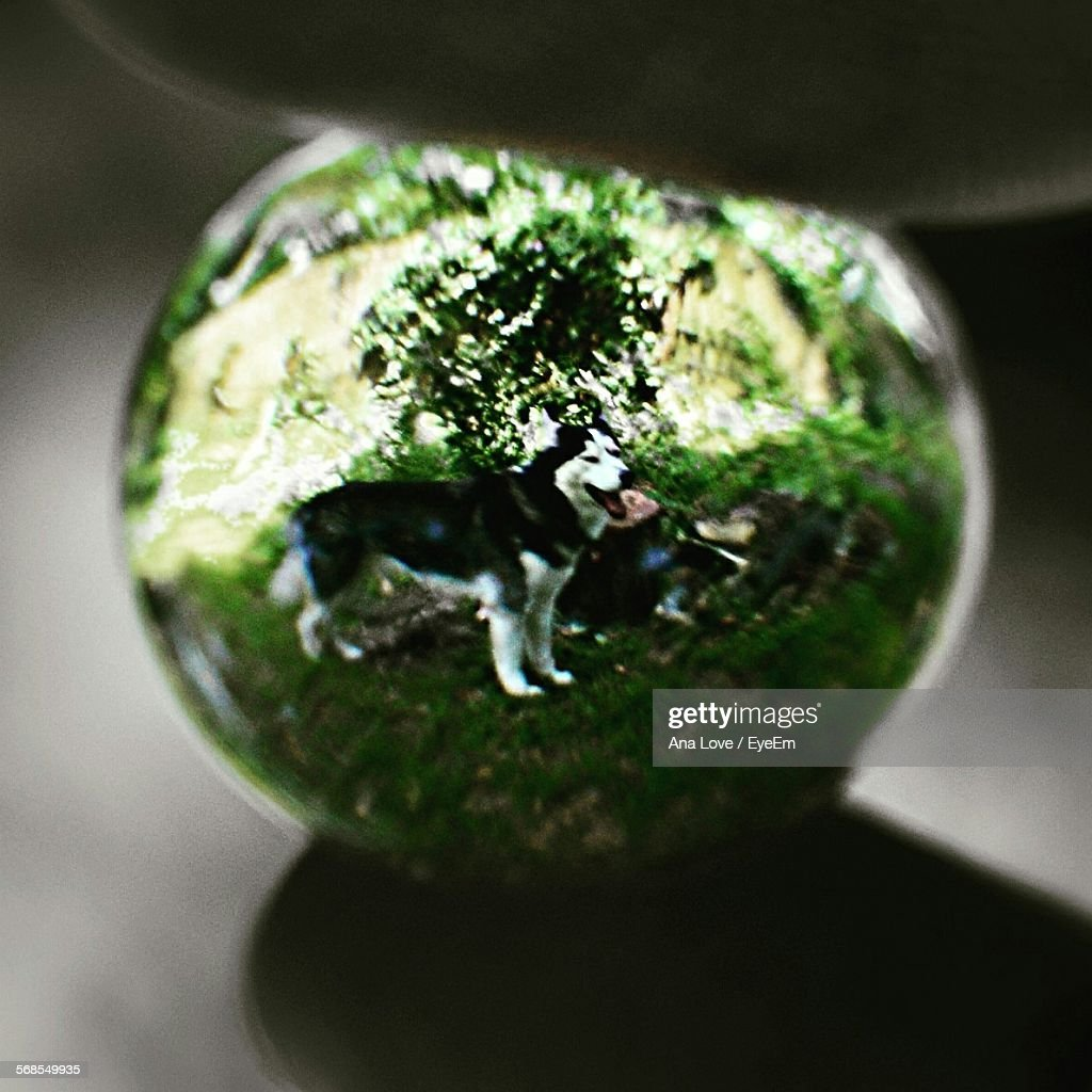 Cropped Image Of Human Hand Holding Marble With Reflection Of Siberian Husky : Stock Photo