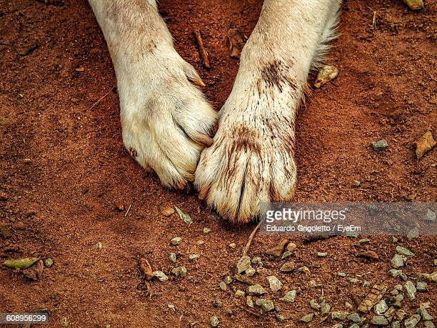 Cropped Image Of Labrador Retriever Leg On Dirty Field