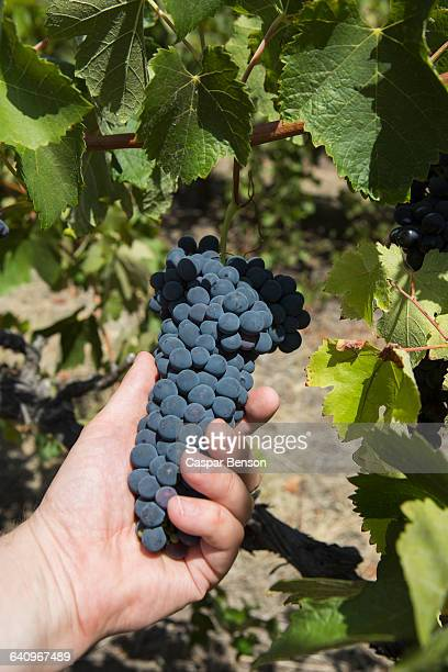 cropped image of man holding grapes at vineyard - barossa valley stock pictures, royalty-free photos & images