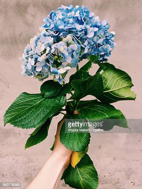 Cropped Image Of Man Holding Hydrangeas Against Wall