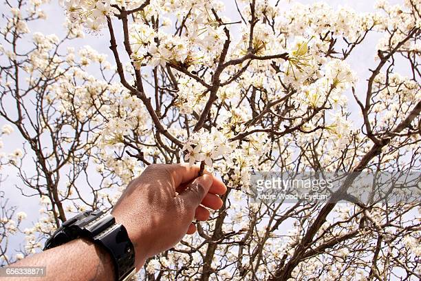 Cropped Image Of Man Holding White Flowering Tree Branch