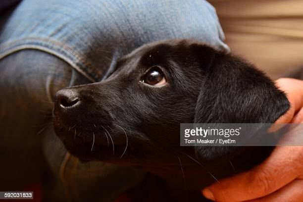 Cropped Image Of Man With Black Labrador Retriever Puppy