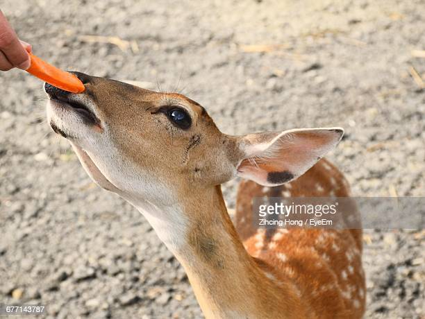 Cropped Image Of Person Feeding Carrot To Axis Deer