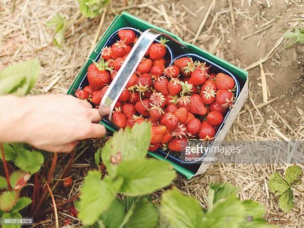 cropped image of person harvesting strawberries on farm - bortes bildbanksfoton och bilder