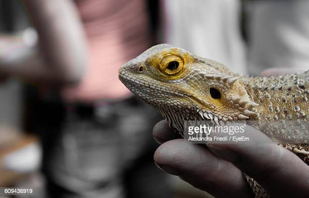 Cropped Image Of Person Holding Bearded Dragon