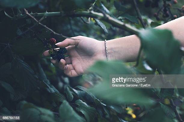 Cropped Image Of Person Holding Blackberries Growing On Plant