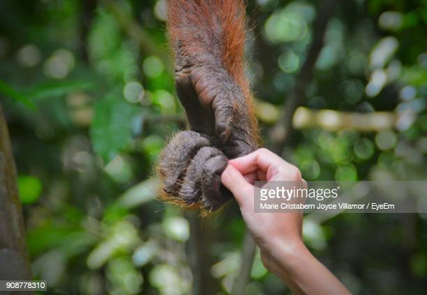 Cropped Image Of Person Holding Chimpanzee Hand