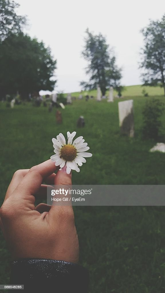 Cropped Image Of Person Holding Daisy On Grassy Field : Stock Photo