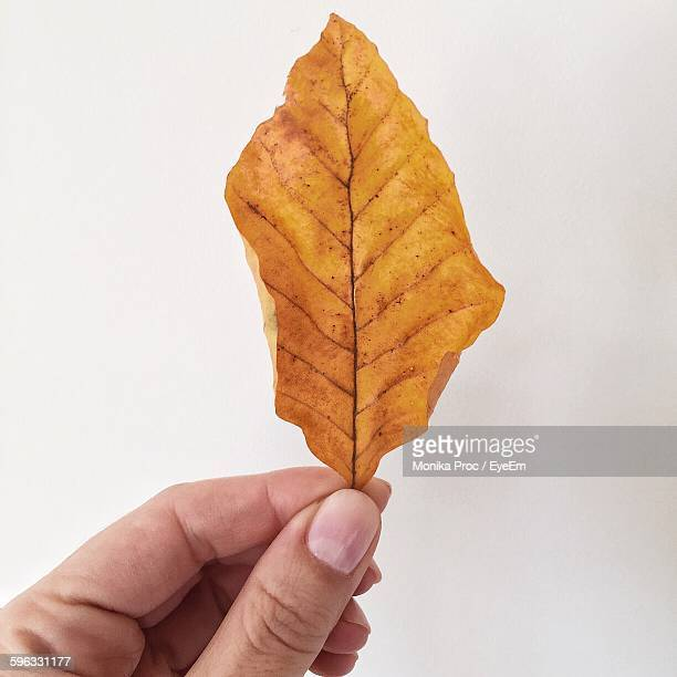 Cropped Image Of Person Holding Dry Autumn Leaf Against White Background