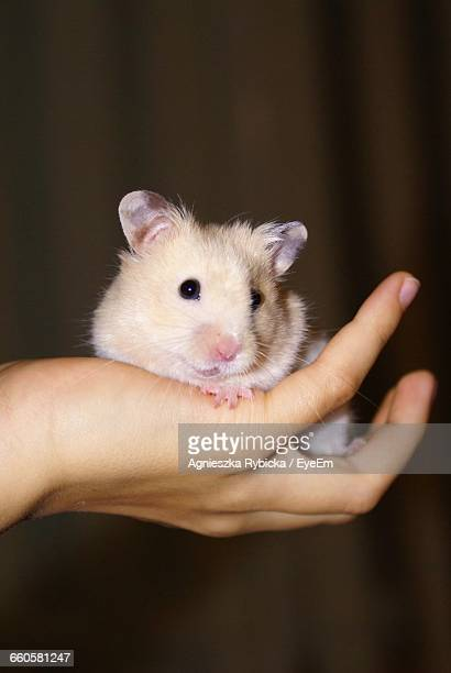 Cropped Image Of Person Holding Hamster