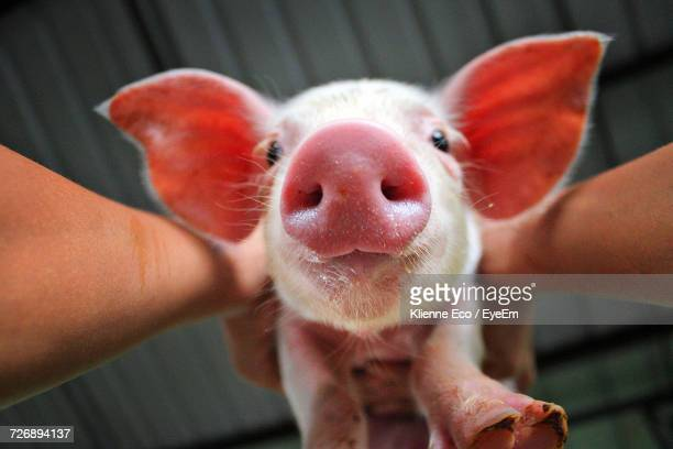 cropped image of person holding pig against roof - pig nose stock pictures, royalty-free photos & images