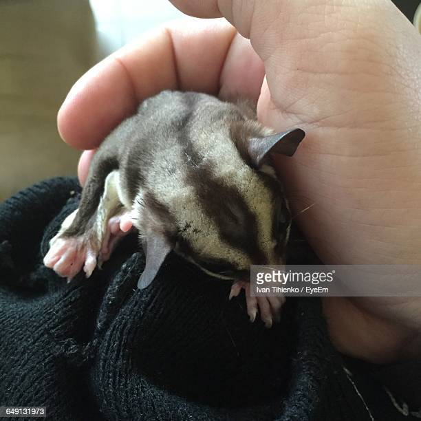 Cropped Image Of Person Stroking Sugar Glider