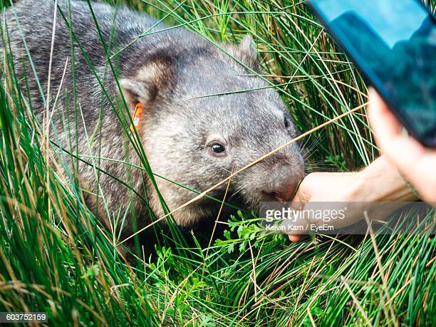 Cropped Image Of Person Touching Wombat On Grassy Field