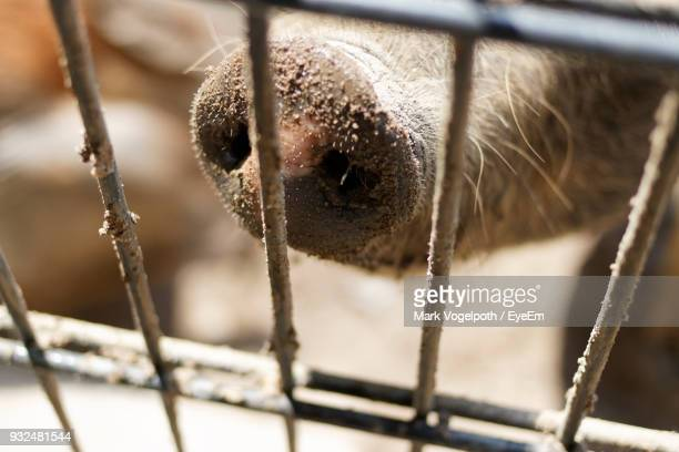 Cropped Image Of Pig In Cage