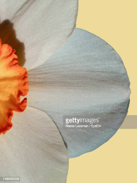 Cropped Image Of White Daffodil On Beige Background