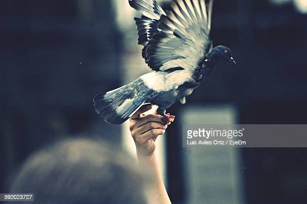 Cropped Image Of Woman Hand Releasing Pigeon