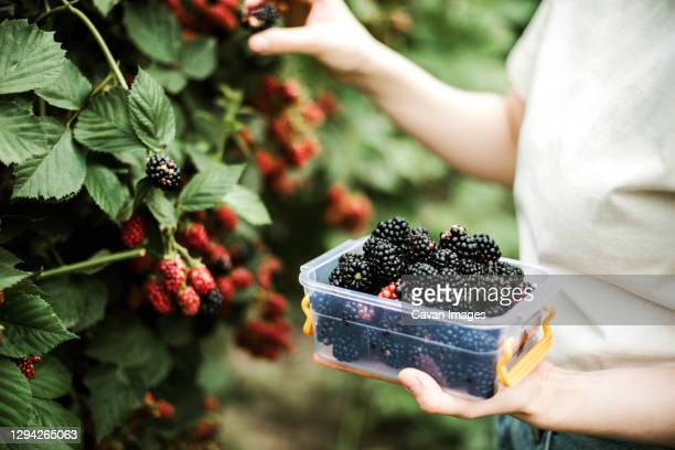 cropped image of woman harvesting blackberries from plants at fa - ripe stock pictures, royalty-free photos & images