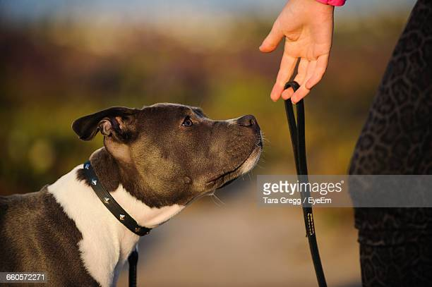 cropped image of woman holding pet leash of american pit bull terrier - american pit bull terrier stock pictures, royalty-free photos & images