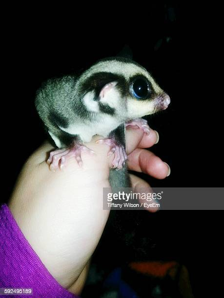 Cropped Image Of Woman Holding Sugar Glider At Night