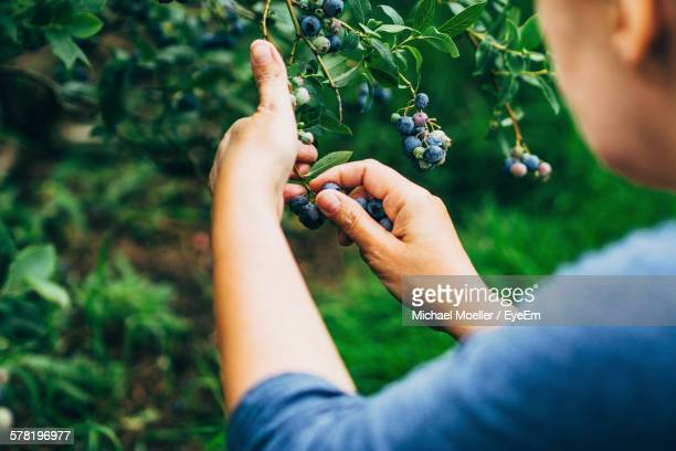Cropped Image Of Woman Picking Fresh Blueberries At Farm