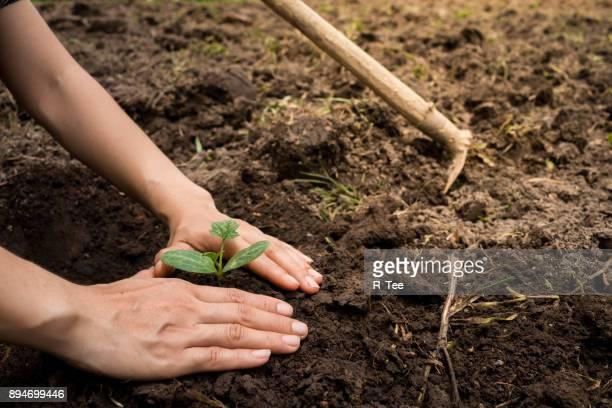 cropped image of woman planting plant - plante photos et images de collection