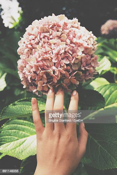 Cropped Image Of Woman Touching Hydrangea Flowers