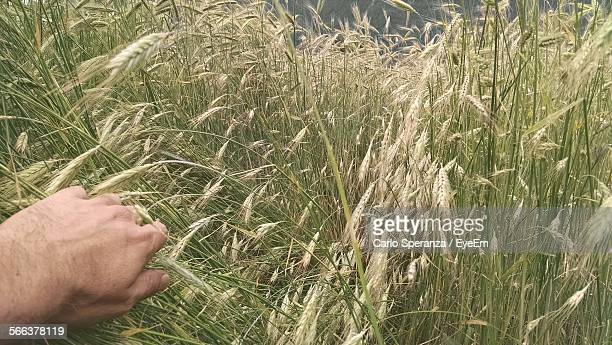 Cropped Man Hand Against Wheat Field